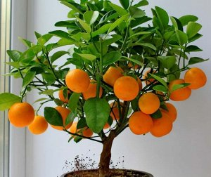 Каламандин - комнатный мандарин