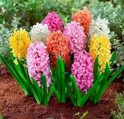 Тюльпаны! От 17 рублей — Гиацинты