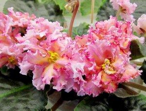 Фиалка Полумахровые и махровые розовые бахромчатые цветы с жёлтыми и оранжевыми оттенками по цветку. Оранжевый цвет более явный при естественном освещении. Насыщенные зелёные стёганые бахромчатые лист