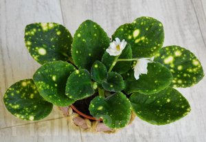 """Фиалка Единственный в своём роде сорт с новым зарегистрированным типом пестролистности! Полумахровый белый цветок на красивой пестролистной розетке, листья в яркий бело-жёлтый горошек. Яркая """"космичес"""