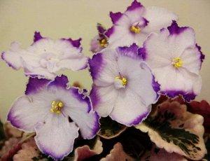 Фиалка Морозно - белые с лёгким лиловым отсветом полумахровые цветы с тёмно -лавандовыми кончиками лепестков, пронизанными узорами в виде сеточки. Тонкая белая кайма по краю лепестков. Розетка красивы