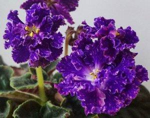 Фиалка Крупные полумахровые сине - фиолетовые цветы с розовыми брызгами фэнтези, с белым глазком на слегка бахромчатых лепестках. Тёмно - зелёные слегка волнистые листья. Цветоносы высокие, стоячие, о