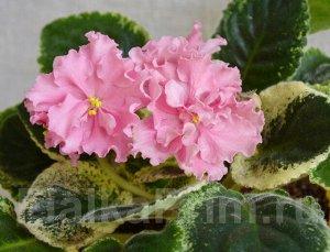 Фиалка Крупные махровые волнистые цветы, нежного персикового цвета. Красивейший яркий пестролистник из бежево - розоватых листьев. (Описание автора).