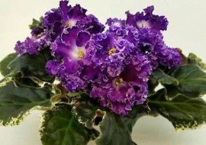 Фиалка Очень крупные волнистые фиолетово-пурпурные полумахровые цветы с белым глазком эффектно смотрятся на фоне тёмной пестролистной розетки. По мере взросления цветка в центре появляется красно-пурп