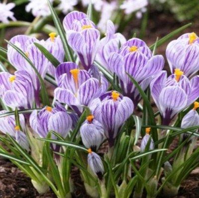 Тюльпаны! От 17 рублей — Крокусы