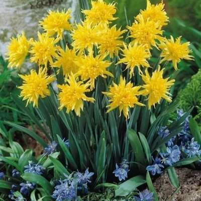 Тюльпаны! От 17 рублей — Нарциссы