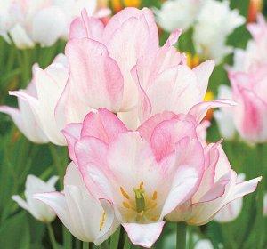 Candy Club Цена за упаковку, штук в упаковке: 20  4 и более цветков из одной луковицы! Роскошный поздний тюльпан с букетом из нескольких очаровательных цветков, вырастающих из одной луковицы. Изящные