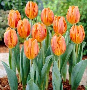 Hermitage Цена за упаковку, штук в упаковке: 3  Луковицы тюльпана Hermitage высаживают осенью на глубину 15 см при температуре почвы не выше 9-10 градусов на расстоянии друг от друга 10-15 см. Участок