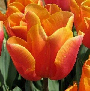 Jimmy Цена за 1 луковицу  Луковицы тюльпана Джимми (Jimmy) великолепно подойдут для высадки в клумбах и на участках. Из них вырастают растения высотой не более 30 сантиметров. Эти тюльпаны имеют нежны