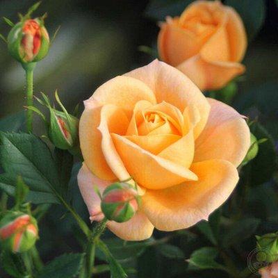 Розы Сибири! Таких цен больше не будет! На осеннюю посадку — Миниатюрные