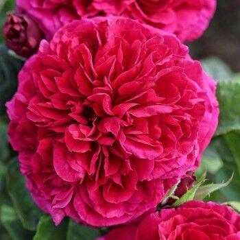 Розы Сибири! Таких цен больше не будет! На осеннюю посадку — Английские