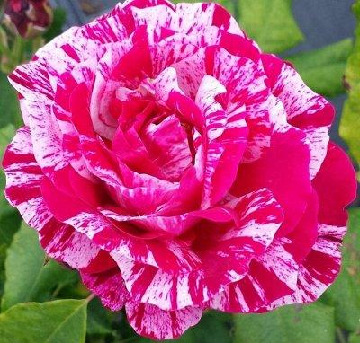 Розы Сибири! Таких цен больше не будет! На осеннюю посадку — Парковые