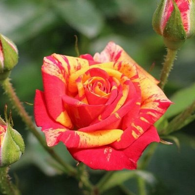 Розы Сибири! Таких цен больше не будет! На осеннюю посадку — Спрей
