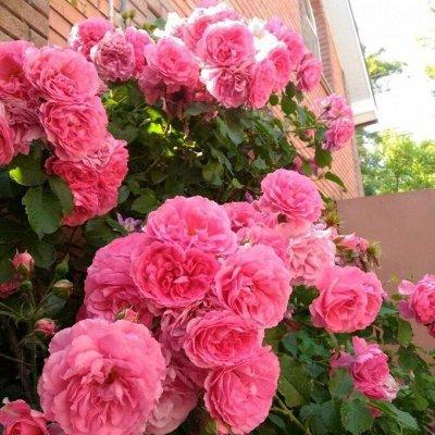 Розы Сибири! Таких цен больше не будет! На осеннюю посадку — Плетистые