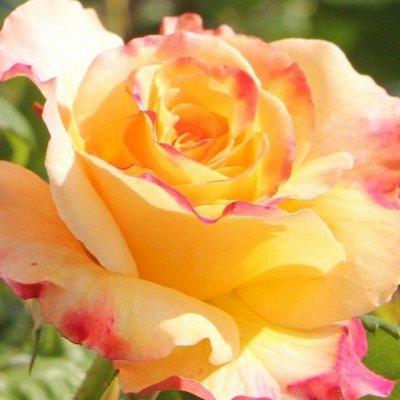 Розы Сибири! Таких цен больше не будет! На осеннюю посадку — Чайно-гибридные