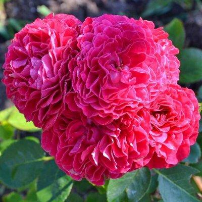 Розы Сибири! Таких цен больше не будет! На осеннюю посадку — Флорибунда