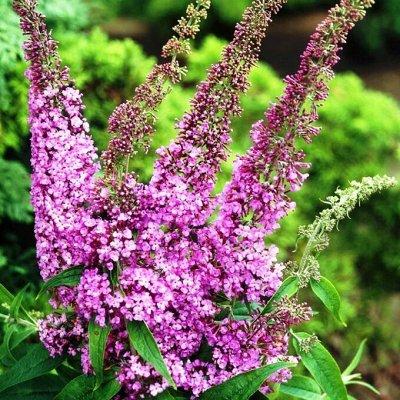 Растения! Выгодные цены! Закрываем! Количество ограничено — Буддлея