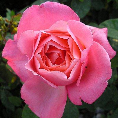 Хвойные! Гортензии! Голубика! Нидерланды - последняя в году — Розы Kordes, Tantau, Vissers (Польша, лицензия)