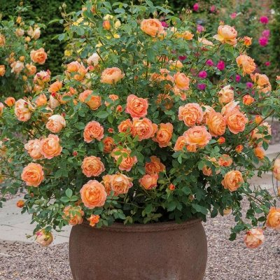 Хвойные! Гортензии! Голубика! Нидерланды - последняя в году — Розы корнесобственные в горшках