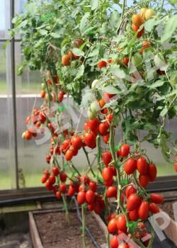 Семена Томат Сан-Сиро F1 ^(10ШТ)