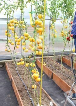 Семена Томат Крем Торт ^(0,05Г)