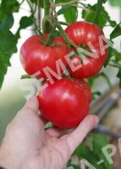 Семена Томат леди Роуз F1 ^(5ШТ)