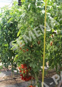 Семена Томат Монпансье^(10ШТ)