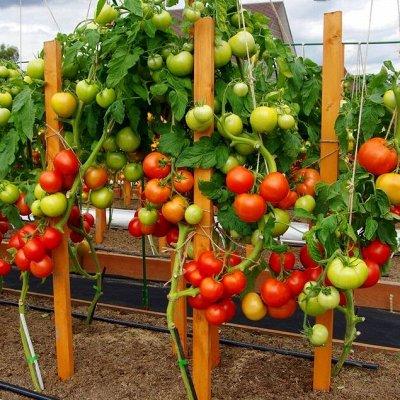 Шикарная коллекция томатов от Партнера — Томаты от Партнера