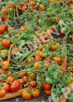 Семена Томат Монгол Карлик 0,05гр