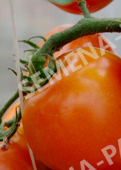 Семена Томат Оранжевая Мама F1 0,05гр