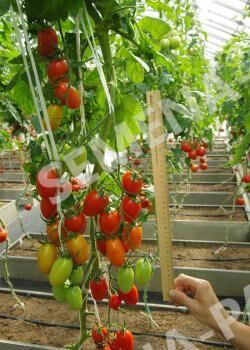 Семена Томат Рыжий Котя F1 ^(10ШТ)