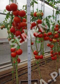 Семена Томат Фрося F1 ^ 10шт
