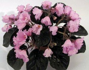Фиалка Крупный колокольчик чистого розового цвета с фуксиевой каймой –напылением. Крупная розетка тёмно - зелёных листьев.