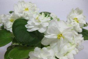 Фиалка Махровые белые с зеленой изнанкой лепестков звёзды по форме напоминающие морозник. Ровная пёстрая розетка. Полуминитрейлер.