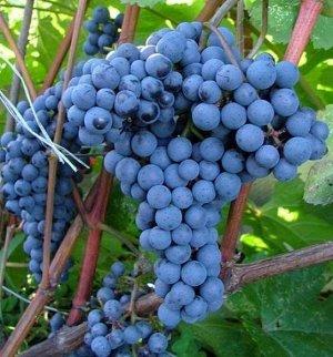 Виноград Адель