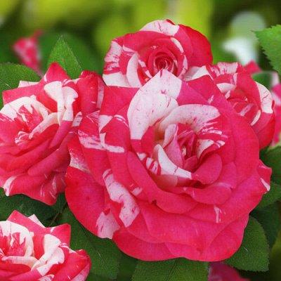 Весна 2022. РОЗЫ и ВИНОГРАД. Остатки брони — Букетные розы