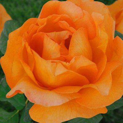 Весна 2022. РОЗЫ и ВИНОГРАД. Остатки брони — Крупноцветковые розы