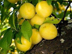 Слива Широ Плоды довольно крупные, весом около 35 г, округлой формы, с «клювиком» на верхушке, лимонной окраски. Мякоть жёлтая, сочная, с прожилками, приятного освежающего вкуса. Урожай созревает в ко