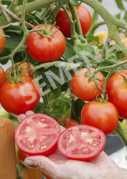 Семена Томат Красная Стрела+ F1 ^(0,05Г)