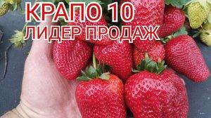Крапо 10 Сорт клубники Крапо 10 - новейший эксклюзивный ремонтантный сорт. Крапо 10 с успехом прошёл первые испытания в Европе, появился в России (в том числе и в нашем питомнике) в 2019 году. Куст мо