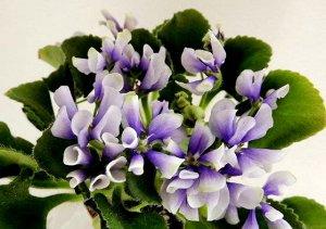 Фиалка Белые цветки с синим центром, все лепестки которых осовидные. Листья тюрнюрные, зелёные. Полумини.