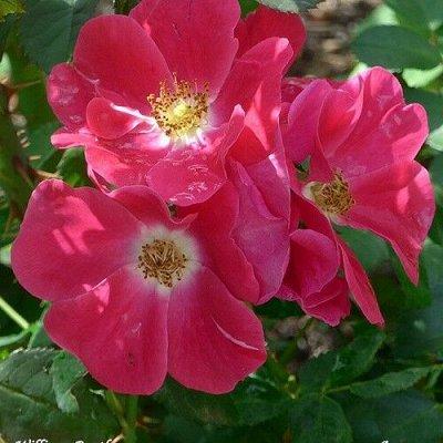 Розы Канадской селекции (питомники Голландии) предзаказ 2022 — Канадские розы(Голландия)