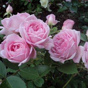 Роза парковая Прейри Джой