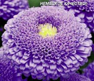 Астра Сидония Фиолетовая Плазма