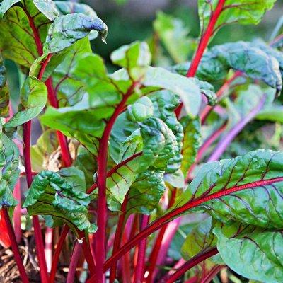 Распродажа посадочного на осень! Луковицы, семена, удобрения — Свекла, мангольд