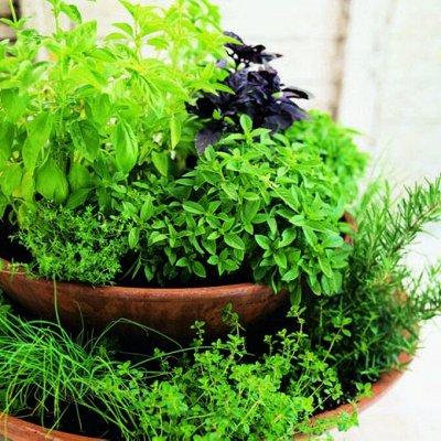 Распродажа посадочного на осень! Луковицы, семена, удобрения — Пряные и лекарственные травы