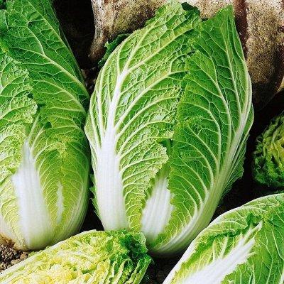 Распродажа посадочного на осень! Луковицы, семена, удобрения — Капуста