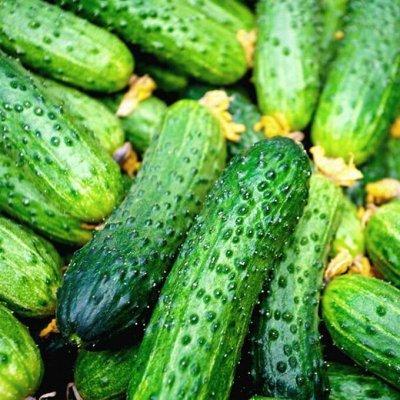 Распродажа посадочного на осень! Луковицы, семена, удобрения — Огурцы