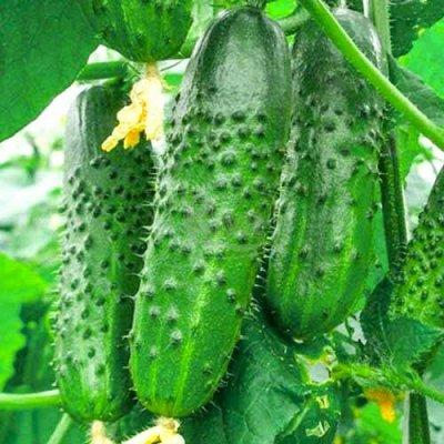 Семена Сибирской селекции, готовимся к новому сезону — Огурцы