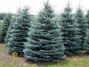 Ель Глаука Высота растения 30см. Закрытая корневая система  Главная особенность дерева – синяя продолговатая жесткая хвоя, за которую эту ель и называют голубой. Плоды растения – коричневые овальные ш